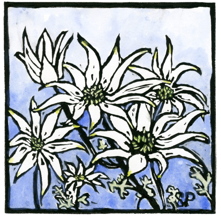 Susan Peacock - Flannel Flower Large