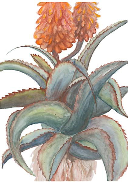 Catherine Atkinson - Eastern Cape Aloe